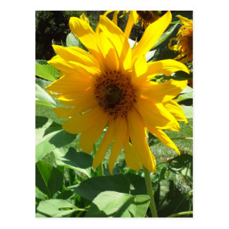 Sunflower with Bees Postcard