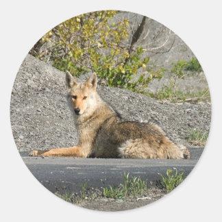 Sunning Coyote Classic Round Sticker