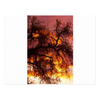 Sunset against a Cottonwood Postcard