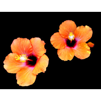 Black Hibiscus The MUSEUM Zazzle Gifts, Gifts The