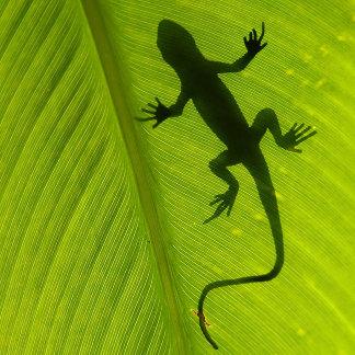 Gecko Silhouette