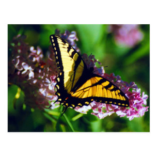 Swallowtail on Lilac Postcard