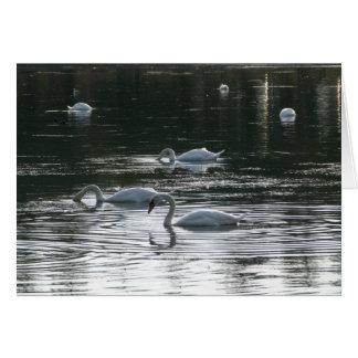 Swans Feeding, Roath Park Lake, Cardiff Card