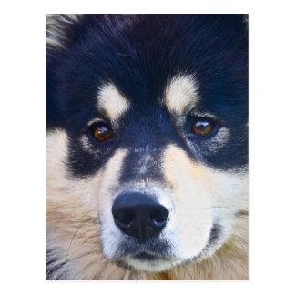 Sweet Finnish Lapphund Postcard