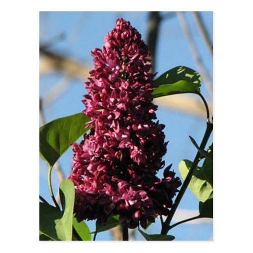 Sweet Lilac Postcard
