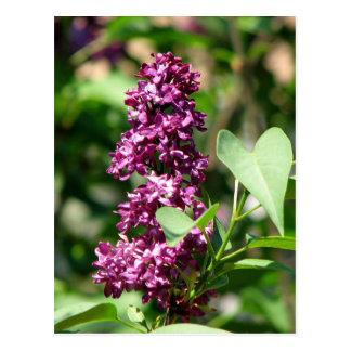 Sweet Lilac Postcards