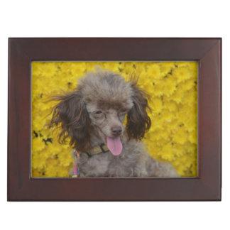 Sweet Tiny Brown Poodle Keepsake Box