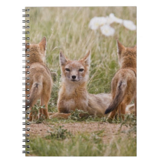 Swift Fox (Vulpes velox) female with young at Notebooks