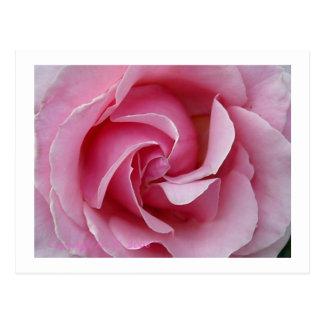 Swirl Pink Rose Postcard