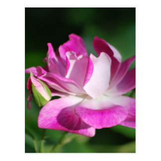 Swirling pink rose and meaning postcard
