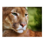 TCWC - Puma Mountain Lion Art Postcard