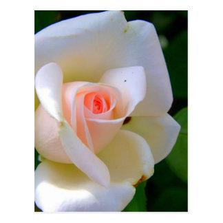 Tender Love Rose Post Card