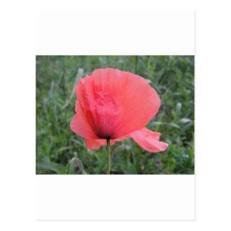 Tender red poppy flower postcards