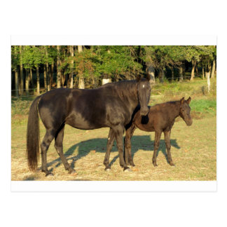 Tennessee Walking Horse Mare and Foal Postcard