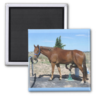 Tennessee Walking Horse Pedicure - Equine Humor Square Magnet