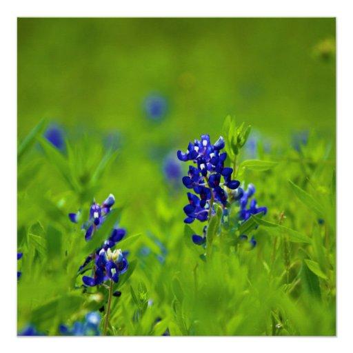Texas Bluebonnet Poster Perfect Poster