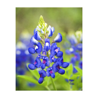Texas Bluebonnet - State Flower Stretched Canvas Print