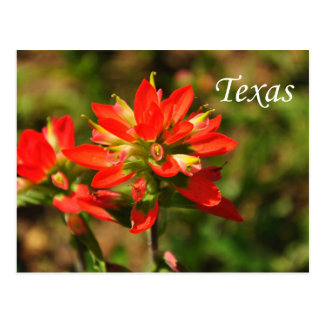 Texas Indian Paintbrush Wildflower Postcard
