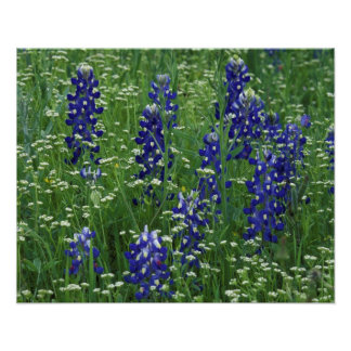 Texas, Lake Buchanan. Texas Bluebonnet and Wild Poster