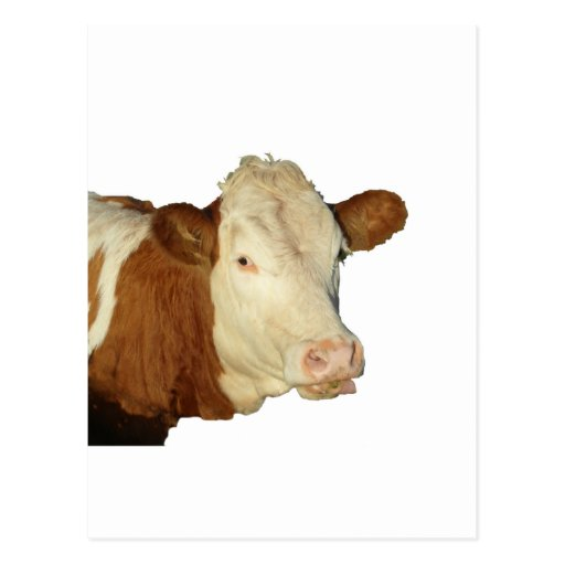 The Cow Post Card
