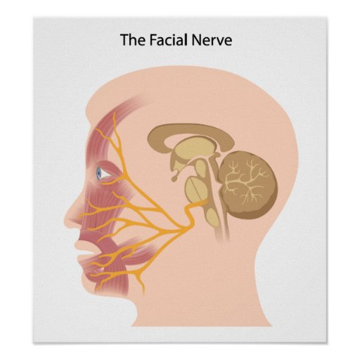 The facial nerve Poster