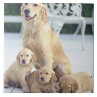 The Golden Retriever is a relatively modern and Large Square Tile