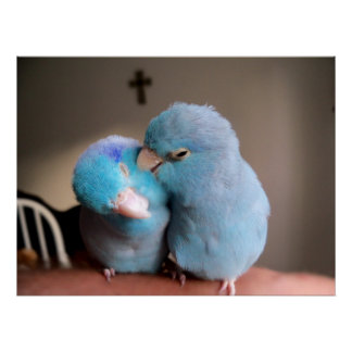 The Love we Share Pacific Blue Parrotlets Poster