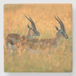 Thomson's Gazelle (Gazella Thomsonii) At Dawn Stone Coaster