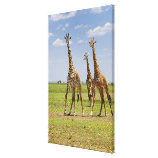 three Masai giraffes, Giraffa camelopardalis Canvas Print