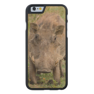 Three Warthog Piglets Suckle On Their Mother Carved Maple iPhone 6 Case