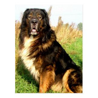 Tibetan Mastiff Postcard