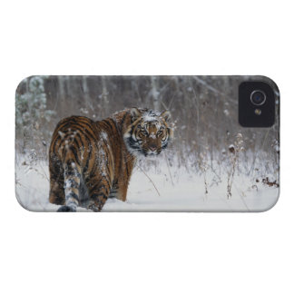 Tiger (Panthera tigris) standing in deep snow iPhone 4 Covers