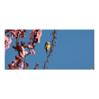 tomtit in blooming cherry plum tree rack cards