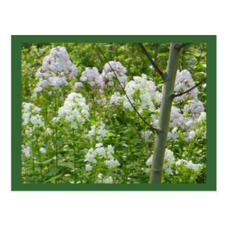 Trace of Lilacs Postcard