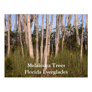 Trees in the Everglades, Melaleuca TreesFlorida... Postcard