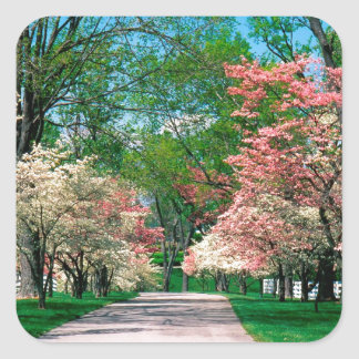Trees Pink White Dogwood Lexington Kentucky Square Sticker