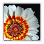 """Tricolor Chrysanthemum"" 12"" x 12"" Photo"