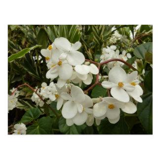 Tropical White Begonia Flowers Postcard