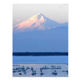 Tundra Swans and Mount Shasta Post Card
