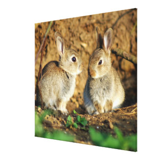 Two Baby Bunnies (Leverets) Canvas Print