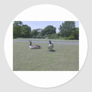 Two Canada Geese Classic Round Sticker