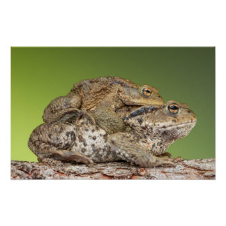 Two Cute Toads Poster