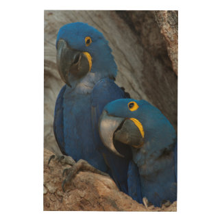 Two Hyacinth Macaws, Brazil Wood Print