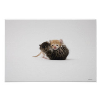 Two kittens cuddling on white background poster