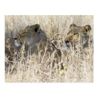 Two lions hidden in dry grass, Kruger National Postcard