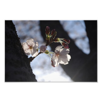 Two lonely cherry blossoms and sunlight photo print
