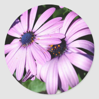 Two Osteospermum Classic Round Sticker