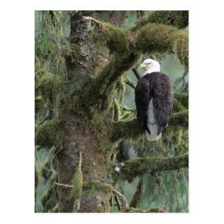 U.S.A., Alaska, Southeast Alaska Bald eagle Postcard