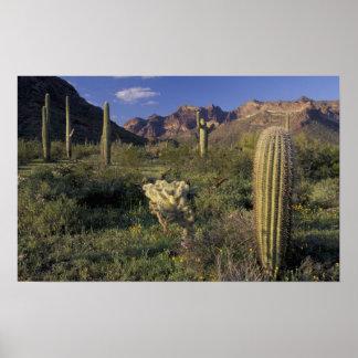 U.S.A., Arizona, Organ Pipe National Monument. Poster