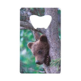 USA, Alaska, Katmai NP, Grizzly Bear cub